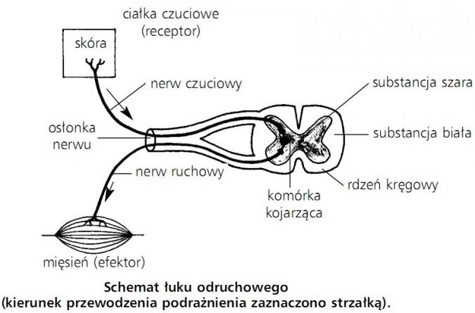 schemat_łuku_odruchowego