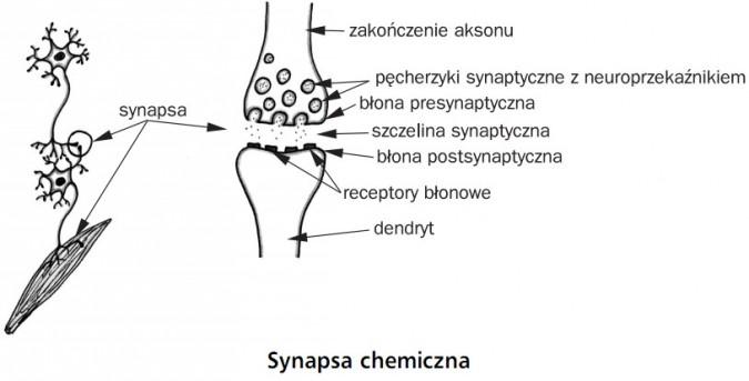 synapsa_chemiczna